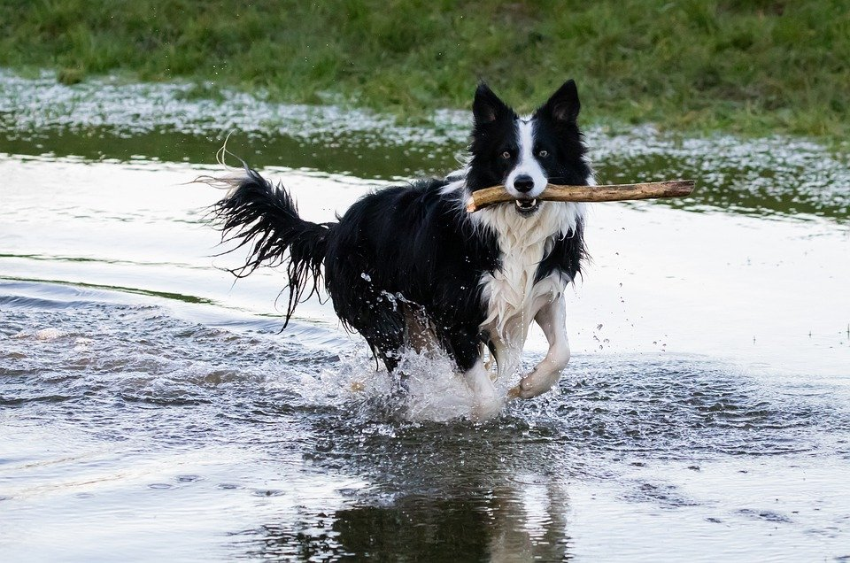 collie-in-water-4734756_960_720