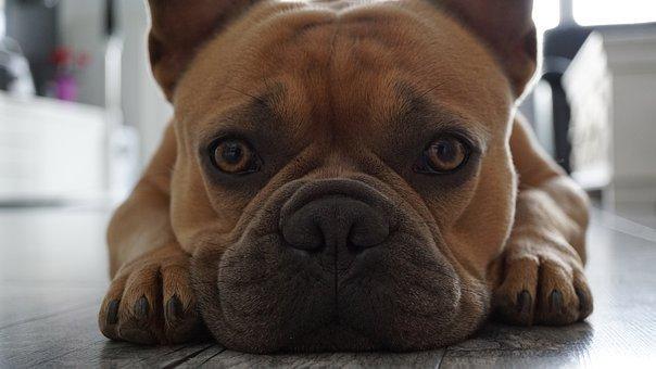 french-bulldog-4390163__340